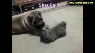 Sharpei, Puppies, For, Sale, In, Lexington, County, Kentucky, Ky, Bowling Green, Owensboro, Covingto