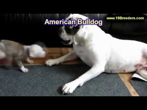 American Bulldog, Puppies, Dogs, For Sale, In Miami, Florida, FL, 19Breeders, Tallahassee