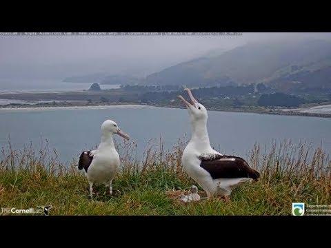 Royal Albatross ~ Affectionate Greeting By YRK For OGK ♥ Mutual Allopreening/Shift Change 2.12.20