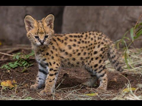 Serval Kitten Gets Licking From Mom