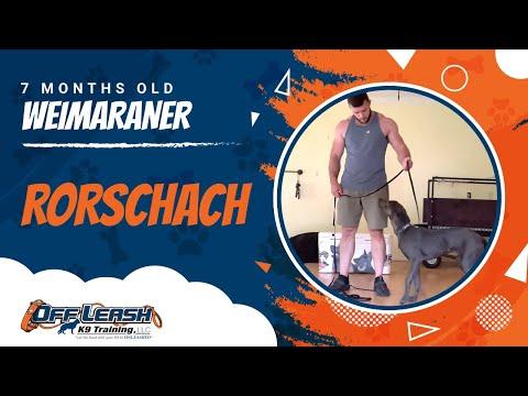 Rorschach | 7 month old Weimaraner | Off Leash K9 | Basic Obedience | Dog Trainer | NoVa
