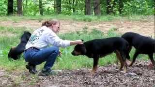 Rottie/hound Mixes- 5-9