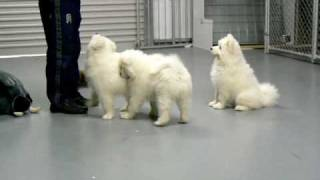 Lealsam Samoyeds Puppies Show Training At 11 Weeks