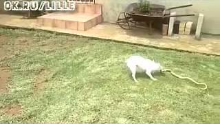 Собака против змеи