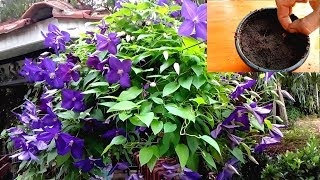 How to grow Clematis from Seeds