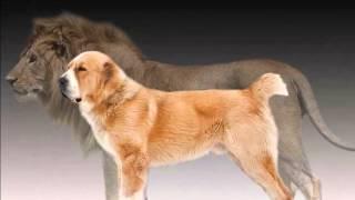 Central Asian Shepherd Dogs