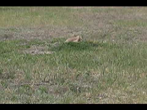 Prairie Dogs In Roberts Prairie Dog Town Badlands Np Youtube