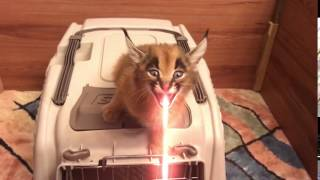 Caracal Screams for Food and SHOOTS LASER!!!