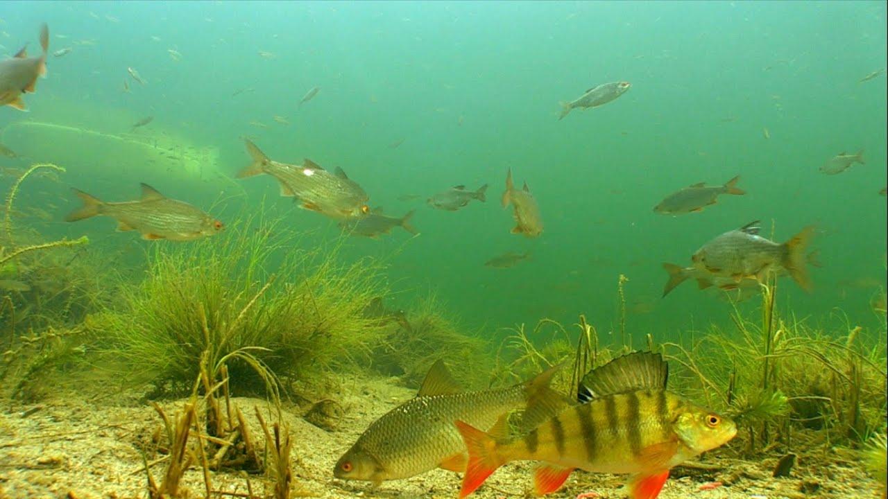 фото речной рыбы под водой свойство