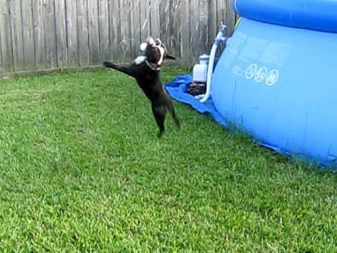 Alfie the back flipping dog!