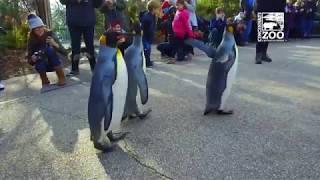 1st Penguin Parade of 2019 - Cincinnati Zoo