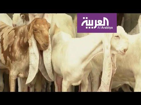 ما قصة الماعز الحجازي الذي تصل أسعاره لـ 150 ألف ريال؟  - نشر قبل 2 ساعة
