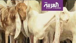 ما قصة الماعز الحجازي الذي تصل أسعاره لـ 150 ألف ريال؟