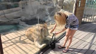 Взрослый лев играется как котенок
