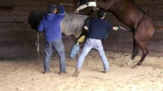 Collecting Stallion for Artificial Insemination