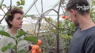 видео Как посадить хурму?