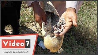 بالفيديو..كارثة.. تلف المحاصيل الزراعية بقرى بنجر السكر لنقص مياه الرى