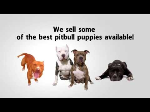 Pitbulls for sale - Call (844) 380-8525 Pitbull Puppies for Sale