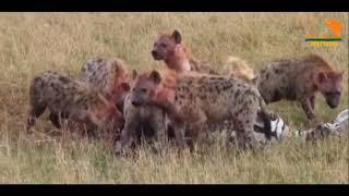 Wild Fauna / Хищник Африки / 2 часть