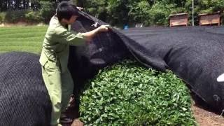 Japanese shaded tea explained by Matsu, Obubu tea, Kyoto