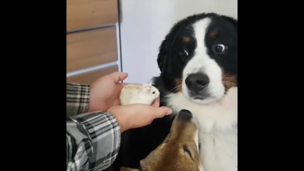 Реакцијата на куче кое се плаши од хрчак