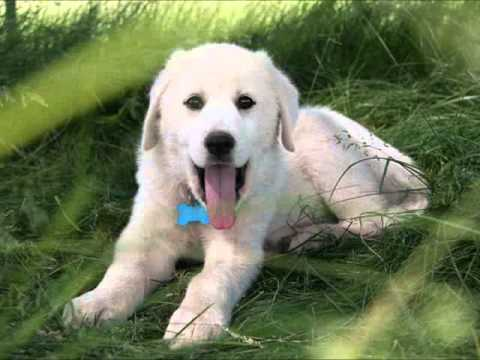 Akbash dog breed video