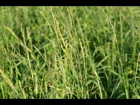 Как правильно посадить газонную траву, чтобы получить