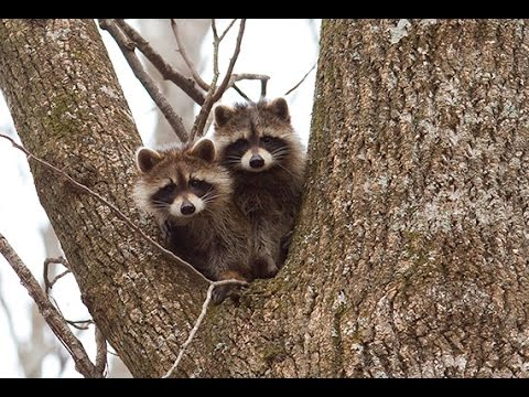 Raccoons on the Outer Banks - Science Cafe
