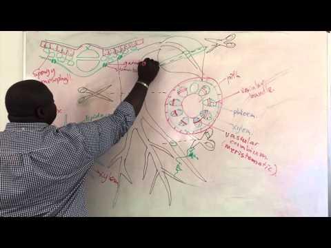 Xylem and Phloem Structure
