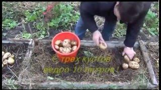Органический картофель - жесть результат...(http://sorta-wiki.ru - Энциклопедия сортов картофеля и других культур. Органический картофель - а всё ли так удочно?..., 2014-07-02T22:41:55.000Z)
