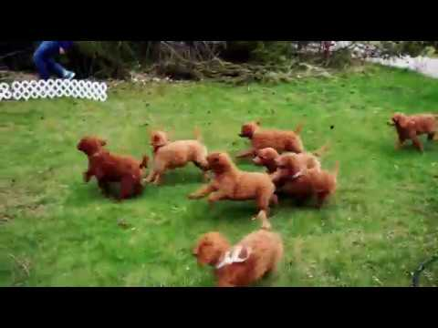 Red standard poodle puppies playing chase with their human