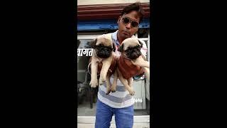 pug puppy 6000 only...Doggyz World