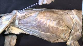 мышцы брюшных стенок