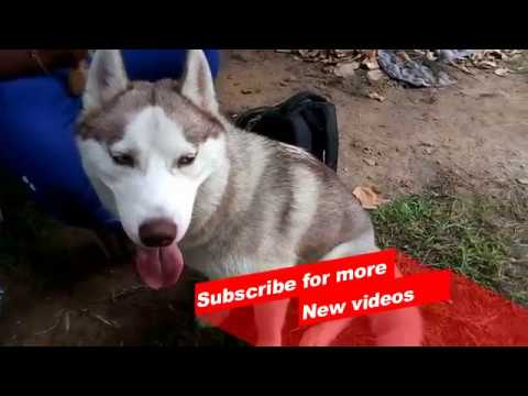 Wow ! Most Amazing dog breeds worldwide | Siberian Husky |