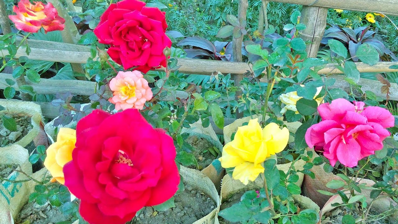 How To Make A Beautiful Rose Garden The Most Beautiful Roses In The World Youtube