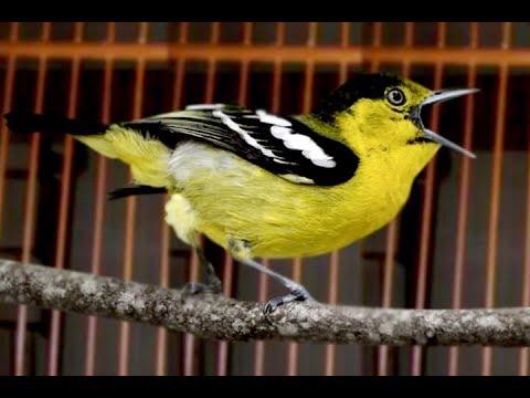 Burung Sirtu Cipoh Gacor Suara Merdu Nada Berirama Youtube
