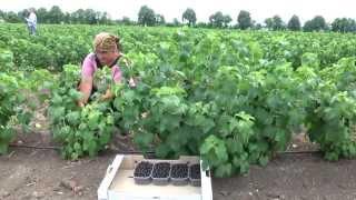 Выращивание черной смородины как бизнес ведь просто