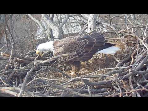 EAGLE CAM 2017- Liberty, the eagle, prepares her nest for eggs! - ECC, MPDC - Washington, DC