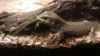 Savanna monitor feeds on garden lizard
