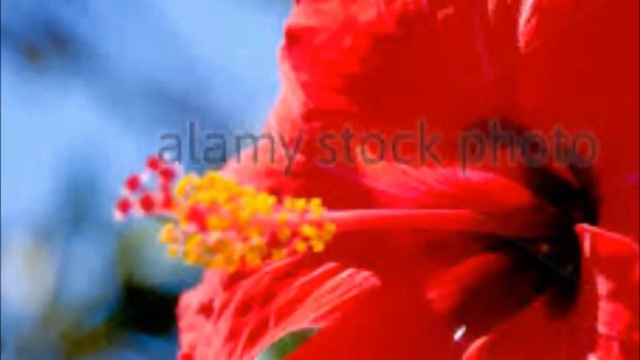 Hibiscus flower in tamil flower images 2018 flower images hibiscus rosa stock photo image of called flower semparuthi hibiscus rosa flower and it called semparuthi in tamil red cute flower unave amirtham hibiscus izmirmasajfo