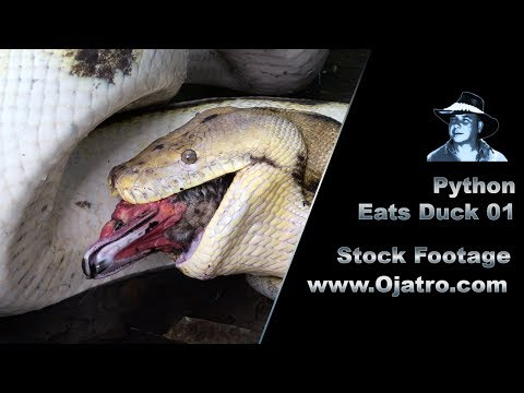 Python Eats Muscovy Duck 01 Stock Footage