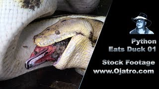 Python Eats Muscovy Duck 01 Stock Footage thumbnail