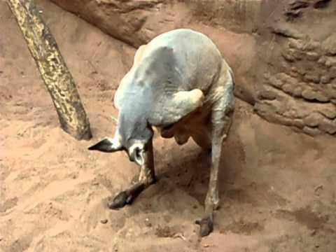 Känguru am Onanieren - YouTube