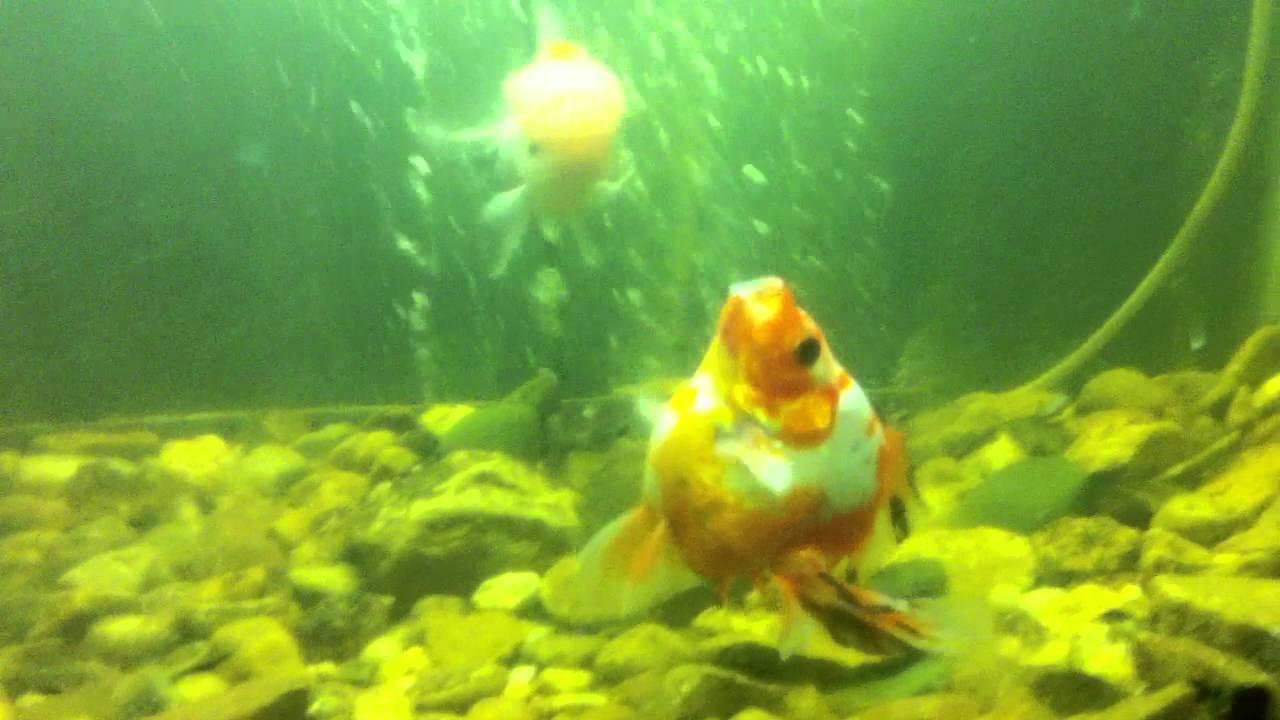 Koi fish in aquarium care - Koi Fish Taking Care Of Disabled Koi Fish