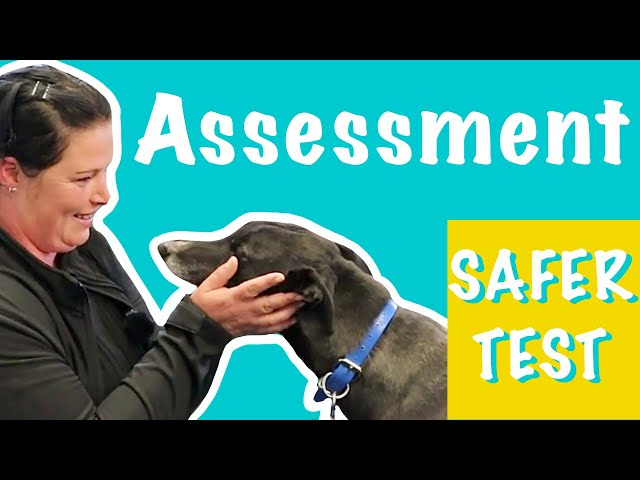 Assessing a Greyhound: how to do a SAFER test