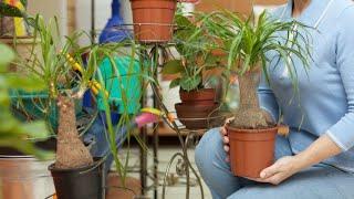 Plantación y cuidados de beaucarnea - Decogarden