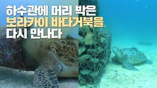 하수관에 머리 박았던 보라카이 거북, 아직 못 떠난 이…