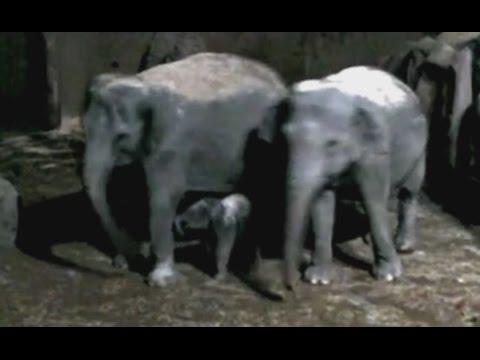 Geboorte olifant Diergaarde Blijdorp Rotterdam
