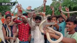 Indian devotees parade snakes as part of Hindu ritual
