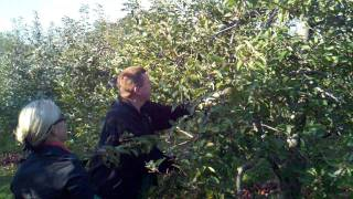 """The """"capt"""" Shows Us 'texas Style Apple Picking"""" Battleview Orchards, Nj"""